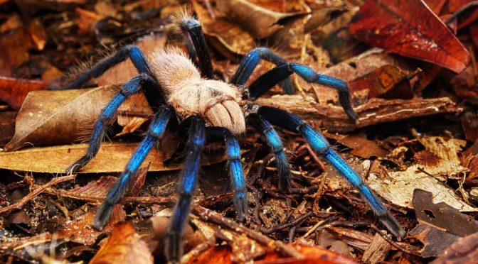 Illegal Export of Blue-legged Tarantula Highlights Biopiracy Woes