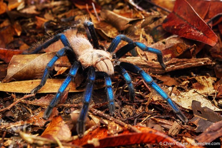 Tarantula - Simoroxigorum birupes (Photo: Chien C. Lee)