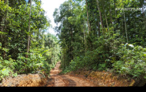 A new road snakes through a permanent reserve forest bloc in Johor which was last logged in the 1970s. (Composite pic by YH Law)