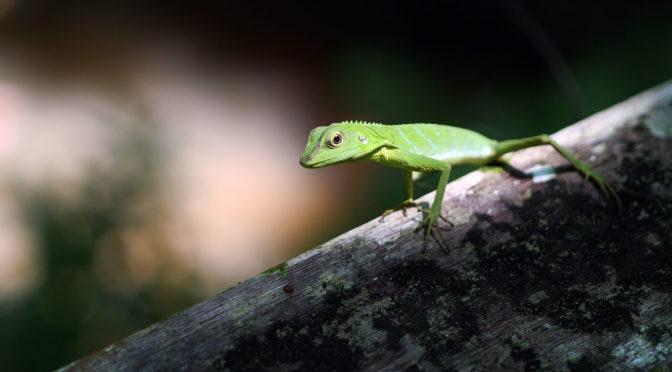 Agamid (Agamidae), Niah National Park (photo: SL Wong)