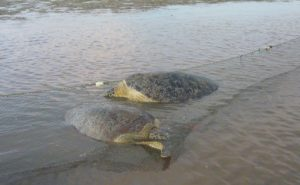 To catch turtles in Brunei Bay, Juanita Joseph used nets called 'kabat' to trap turtles at the mouth of estuaries. Joseph learned the method from local fishermen. (Credit: Juanita Joseph)