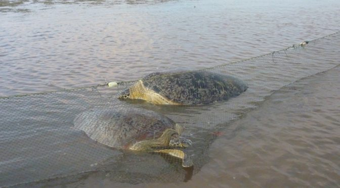 In the Murky Waters of Brunei Bay, Turtles Feed