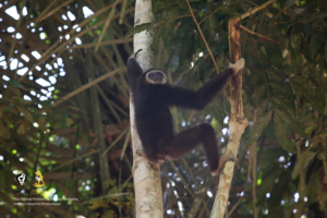 A Lar gibbon, also called white-handed gibbon. Credit: Gibbon Protection Society Malaysia/Infinim Creative Productions