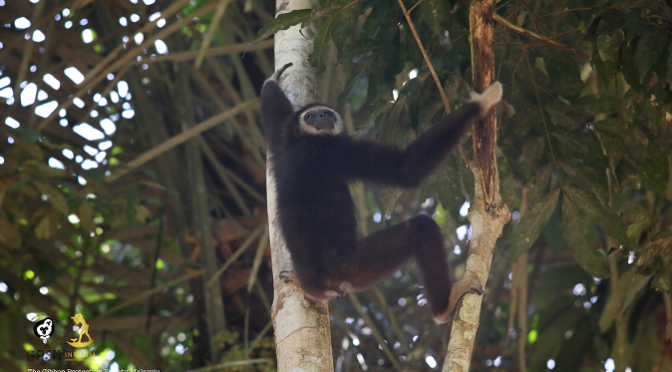 Gibbons Still Sing In Merapoh
