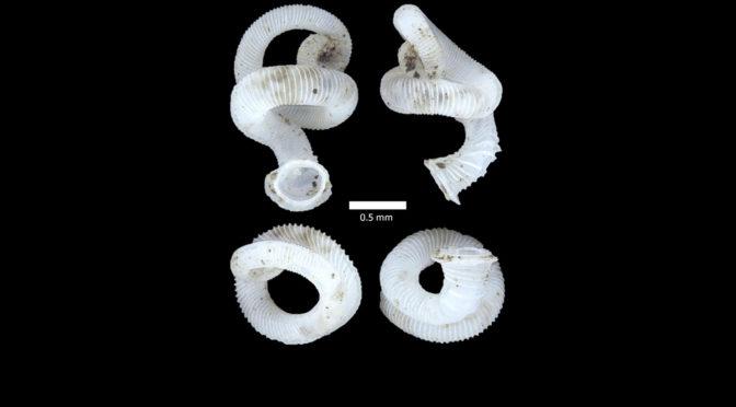 Minute Land Snail (Whittenia vermiculum)