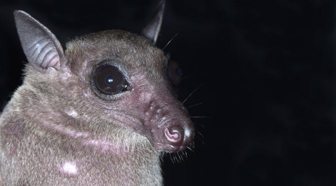 Dawn Bat (Eonycteris spelaea)