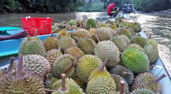 Pos Lanai Orang Asli transport their forest durian to urban centres for sale. Revenues that Orang Asli earn from these activities are enough only to put them in the bottom income bracket. (Credit: Jeffry Hassan)