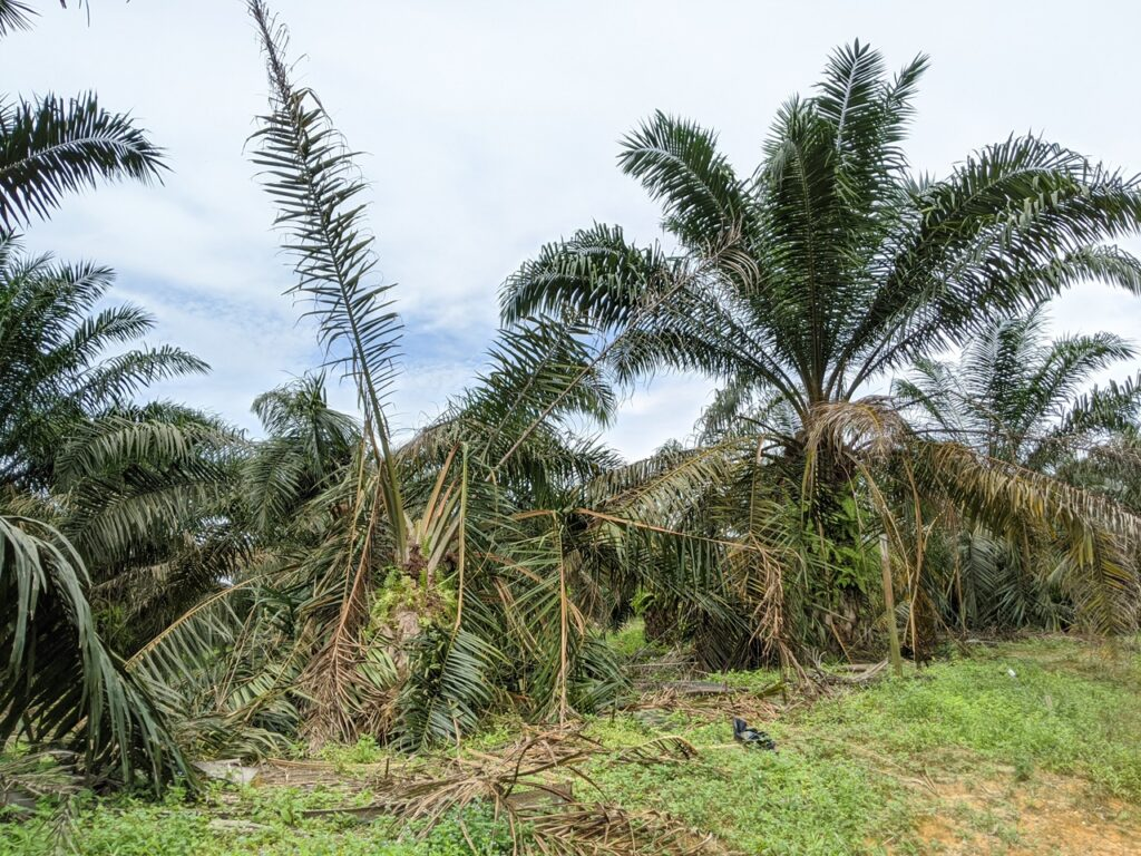 Oil palm damaged by elephants in Jemaluang, Johor; June 2020. (Pic: YH Law)