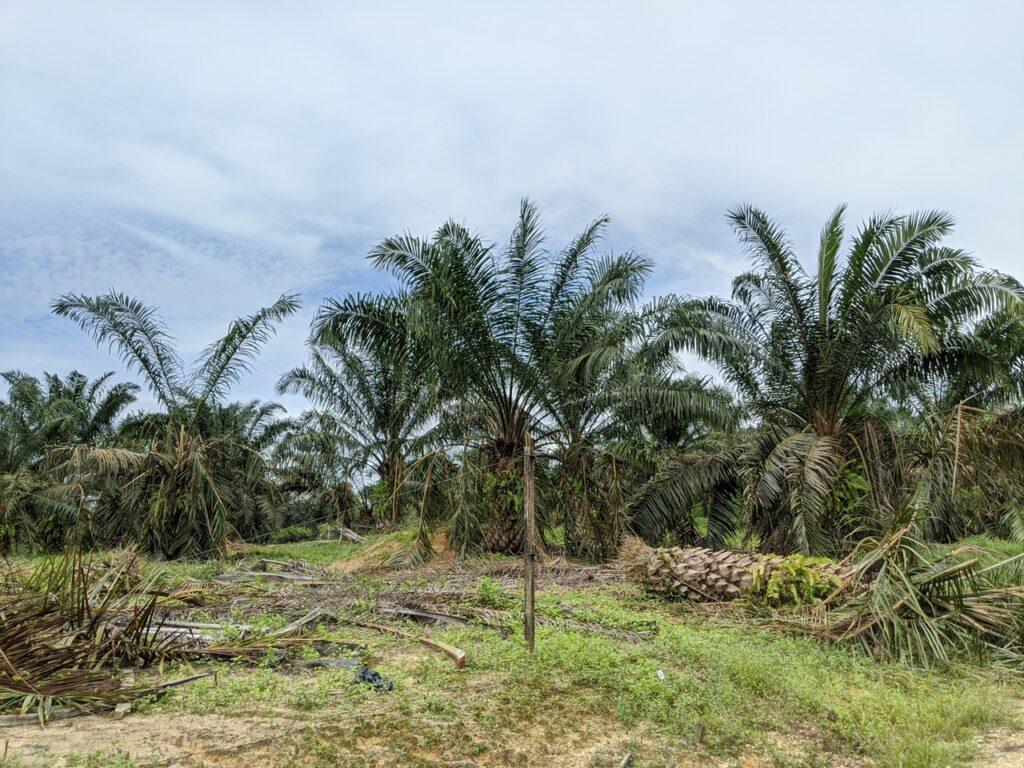 Oil palm damaged by elephants in Jemaluang, Johor; June 2020.