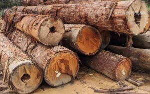 Cut logs piled up and waiting to be picked up at a logging site in Johor, Malaysia