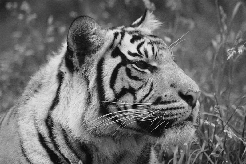 While territoriality is good for tigers, it is not a good approach for environmental NGOs. (Ginny SL Ng)