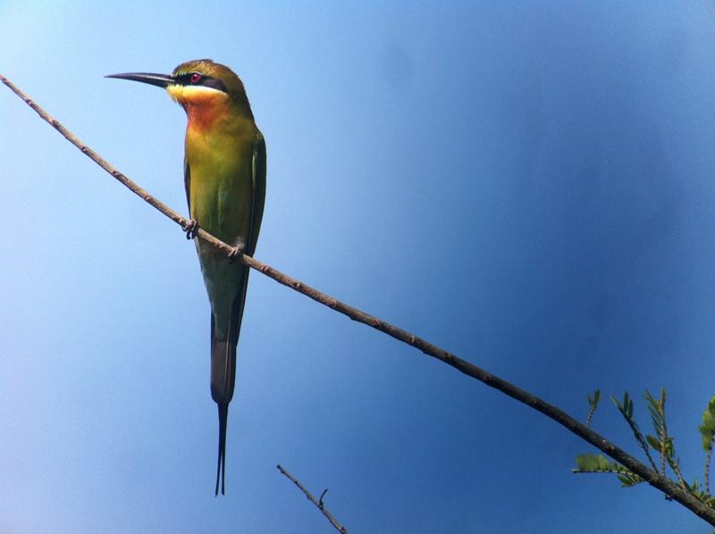 Blue-tailed Bee-eater (Tan Win Sim)