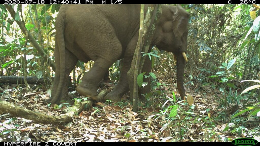 A Bornean elephant in Sabah caught on camera trap. (Pic: Seratu Aatai & Community Elephant Ranger Team)