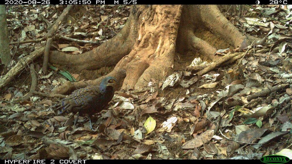 A Bornean Peacock Pheasant in Sabah caught on camera trap. (Pic: Seratu Aatai & Community Elephant Ranger Team)