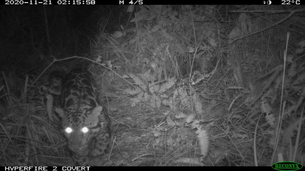 A clouded leopard in Sabah caught on camera trap. (Pic: Seratu Aatai & Community Elephant Ranger Team)