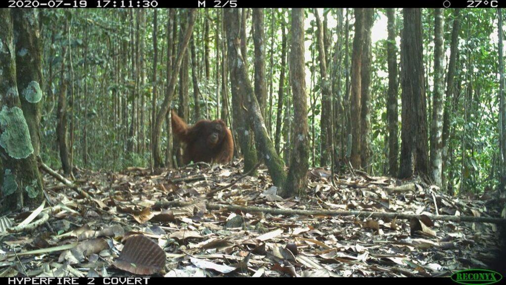 An orangutan in Sabah caught on camera trap. (Pic: Seratu Aatai & Community Elephant Ranger Team)