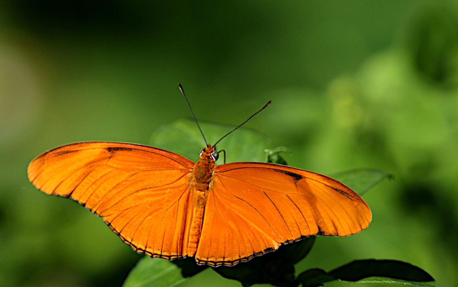 Julia Butterfly (Rosli Omar)