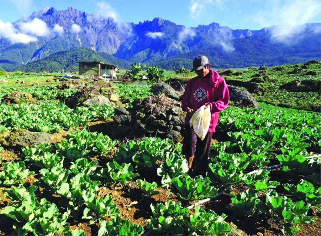 Geopark status will provide more economic opportunities for locals such as this highland vegetable farmer at Kg Mesilou located at the foot of Mount Kinabalu. (Felix Tongkul)