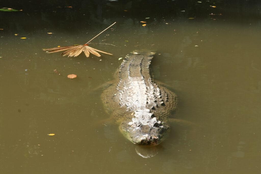 Saltwater crocodile in water.
