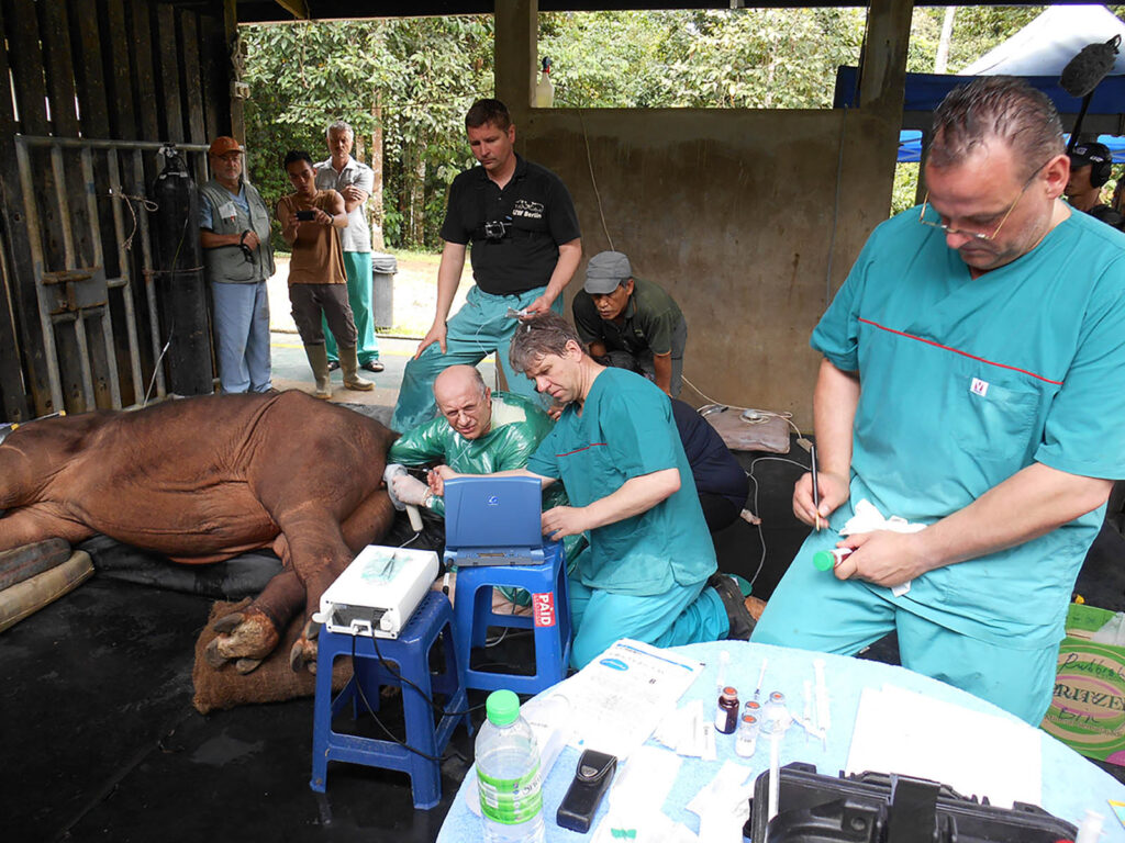 Harvesting egg cells from Iman, Malaysia's last Sumatran rhino, to perform in vitro fertilization, a typical form of advanced (assisted) reproductive technology. Photo taken on 9 May 2014 with scientists and BORA staff (BORA)