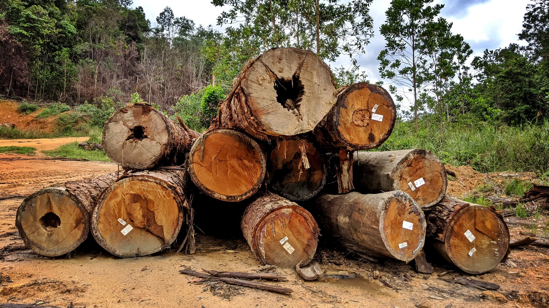 Logs harvested in a forest reserve in Johor, 2020. These were logged according to sustainable forestry rules.