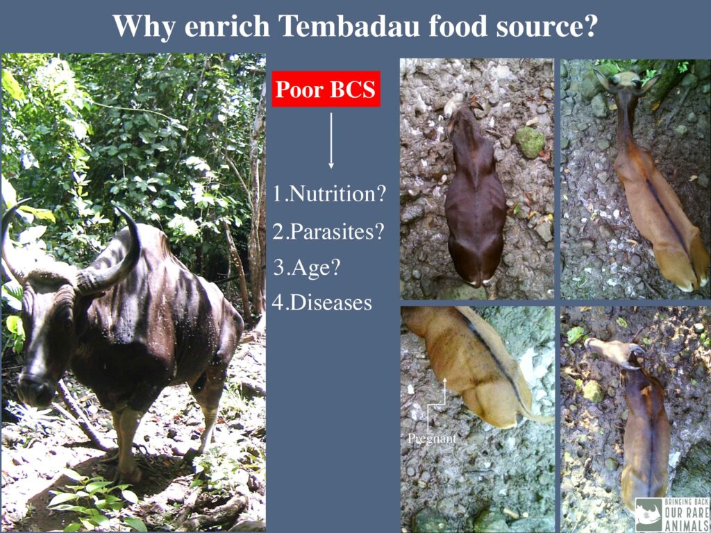 Nutrient deficiency is a big problem for Bornean banteng, as shown in a slide from the presentation  'Developing Pastures for Tembadau: Why and How' at the forum (Abdul Hamid Ahmad/BORA)