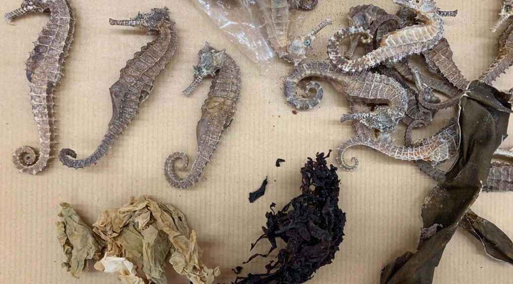 """""""Vietnamese citizens who work in Malaysia usually bring home some dried seahorses."""" Seen here are seahorses and some ingredients with which they are prepared. (Reana Ng)"""