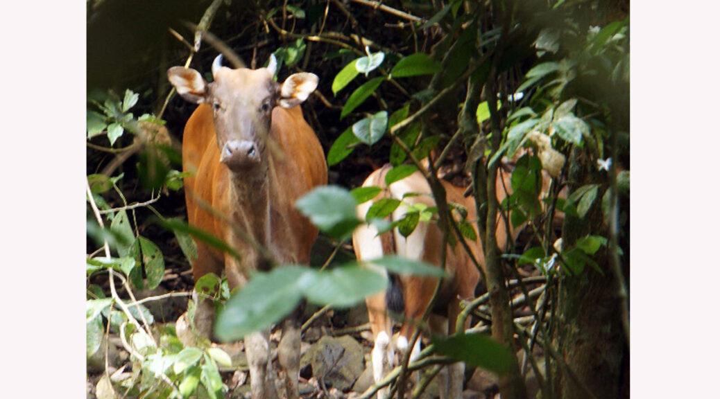 Tembadau mother and calf in Sabah (BORA)