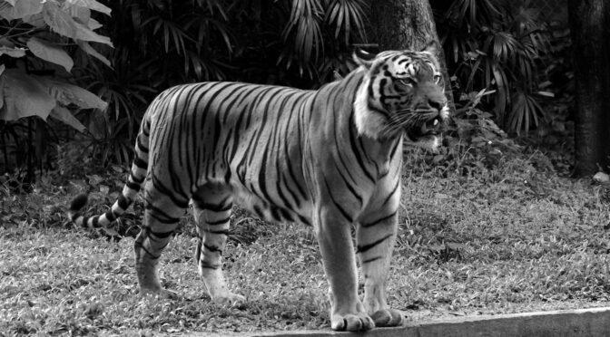 Loving Malayan Tigers 3000