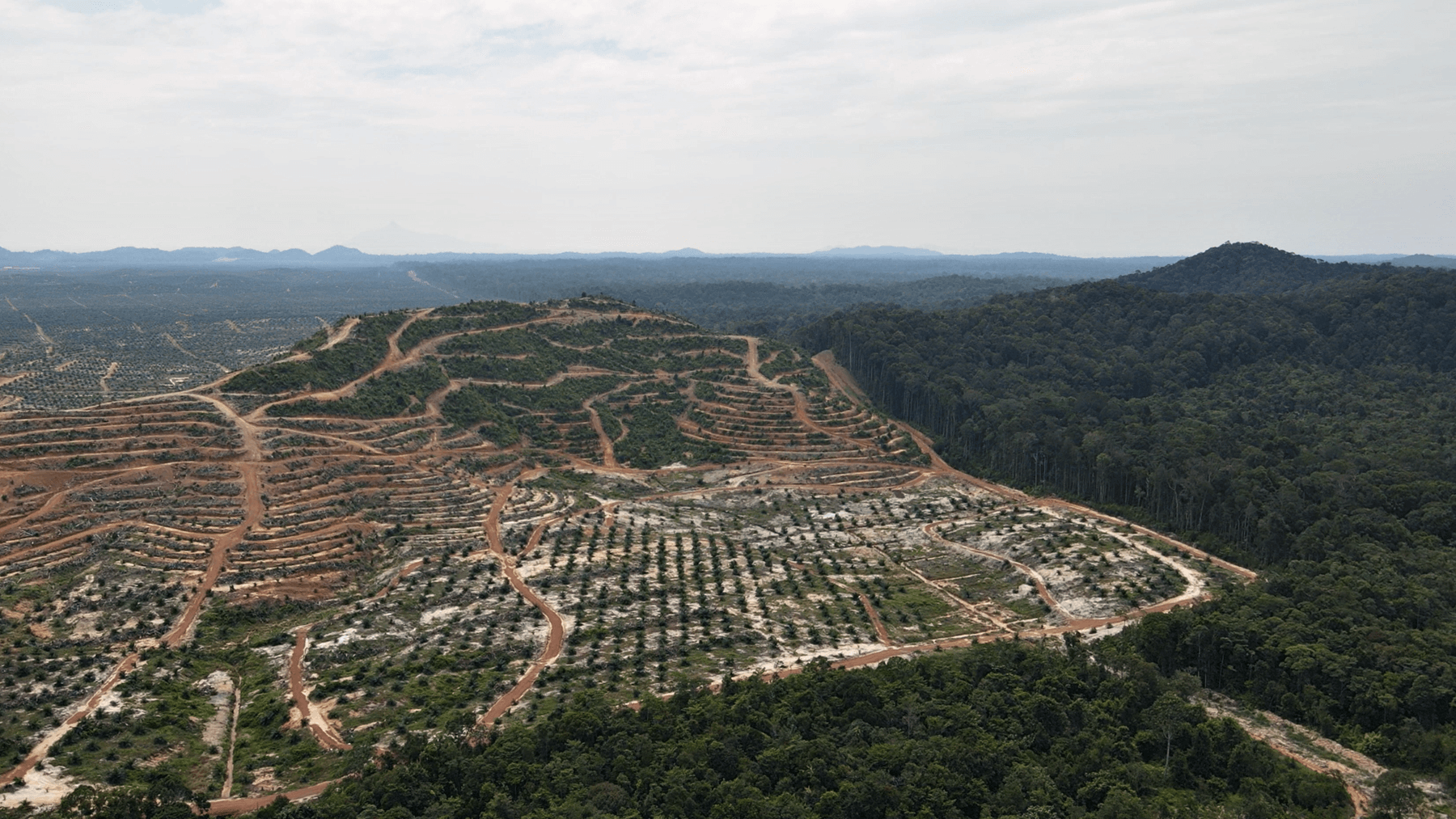 Forest cleared for oil palm plantation in Jemaluang, Johor (Macaranga)