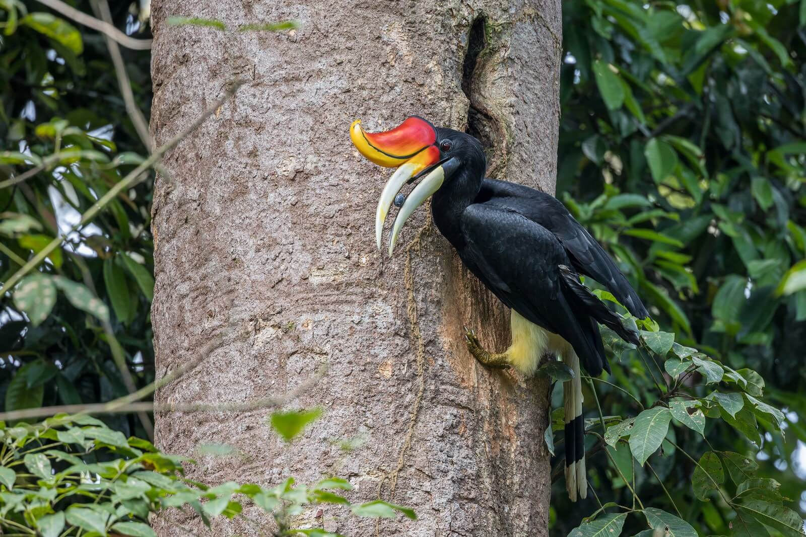 In the Merapoh Forest Complex, a male Rhinoceros Hornbill feeds fruits to its nestling in a tree cavity.