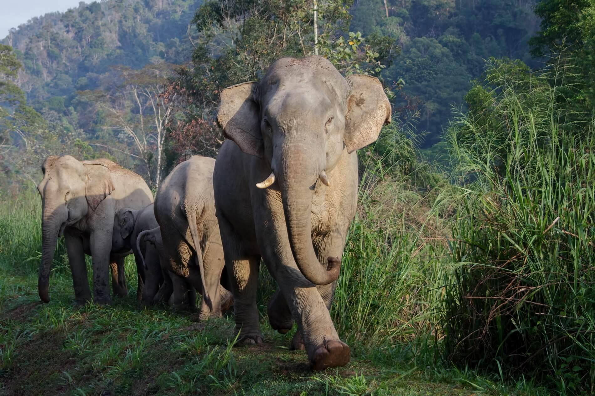 Asian elephant (Photo by Izereen Mukri / Malayan Rainforest Station)