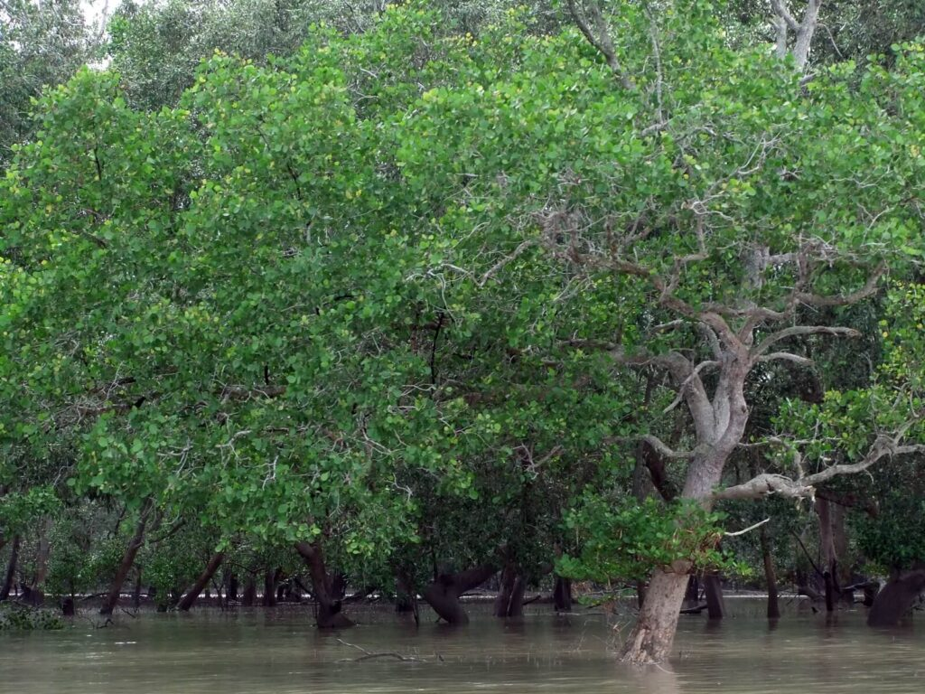 Awash in sea water twice daily, mangrove trees thrive in a challenging environment.
