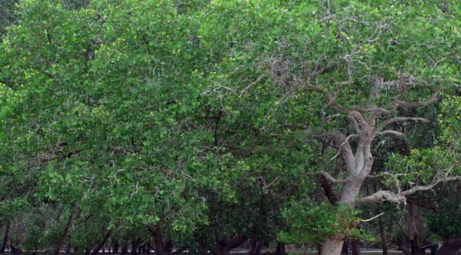How Do Mangroves Escape the Salt?