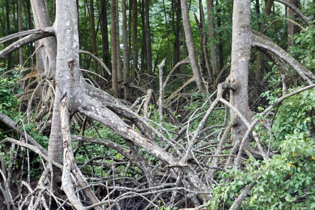 Rhizophora trees with their stilt roots.