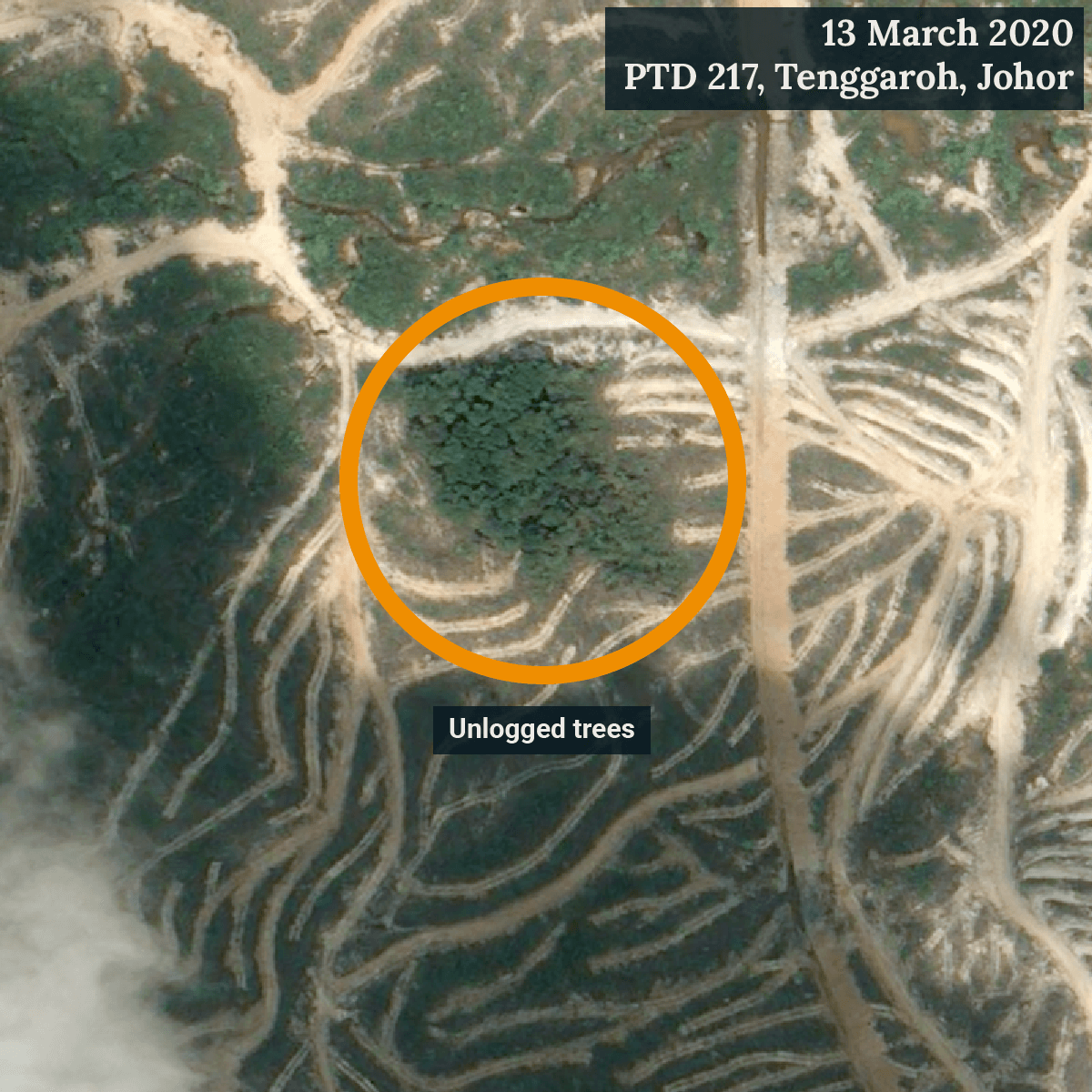 Close-up view of unlogged trees which might be a cluster of endangered Meranti telopok (Shorea peltata). (Satellite image ©CNES 2020 Distribution Airbus DS / Earthrise)